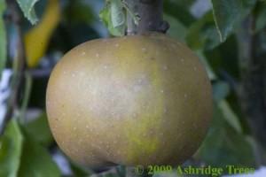 Egremont Russet Fruit
