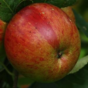 Lord Lambourne Fruit